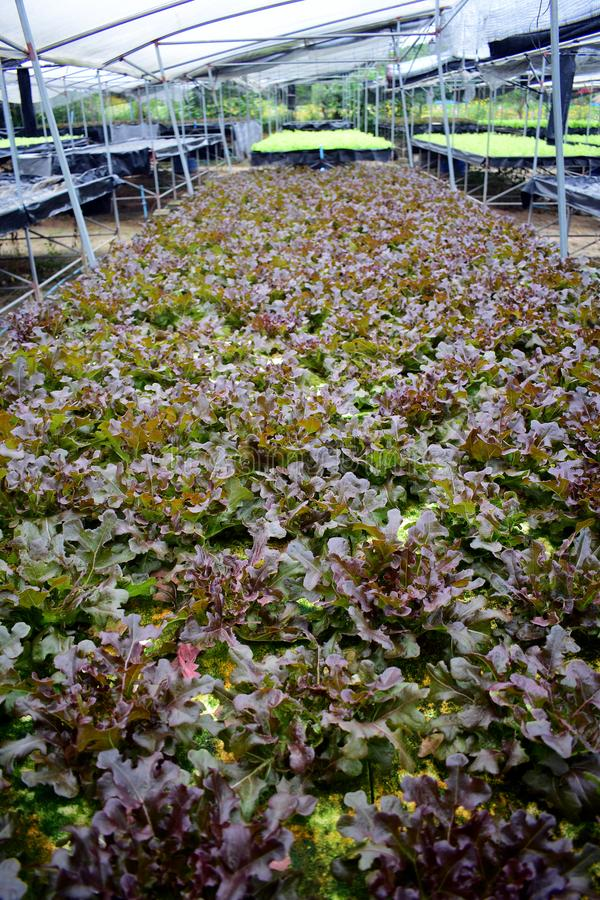 Hydroponic vegetables farm. Hydroponic vegetables grow on sponge at Hydroponic farm royalty free stock images