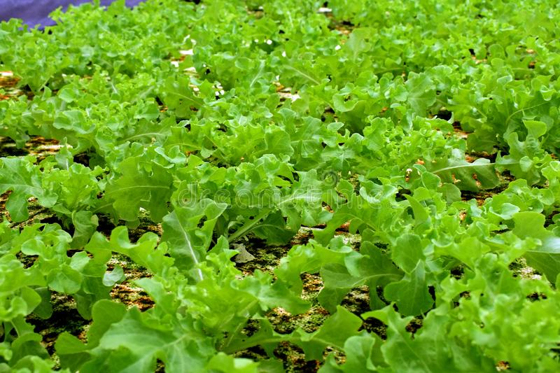 Hydroponic vegetables farm. Hydroponic vegetables grow on sponge at Hydroponic farm royalty free stock photo