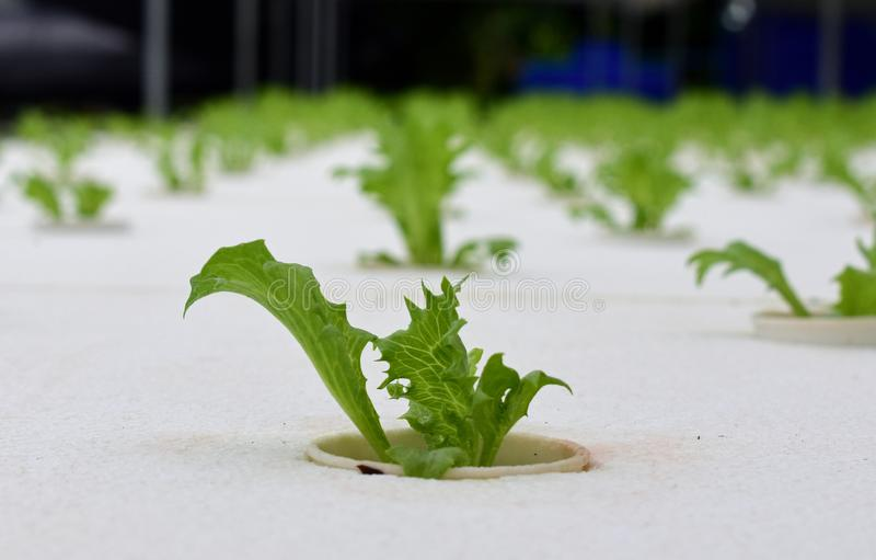 Hydroponic vegetables farm. Hydroponic vegetables grow on sponge at Hydroponic farm royalty free stock photography