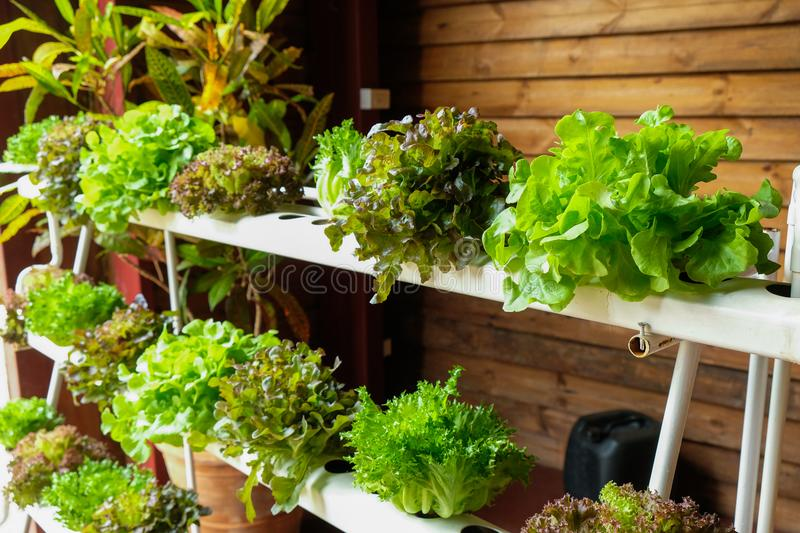 Hydroponic vegetables growing royalty free stock photos