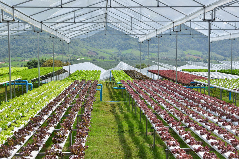 Hydroponic vegetables growing in greenhouse stock images