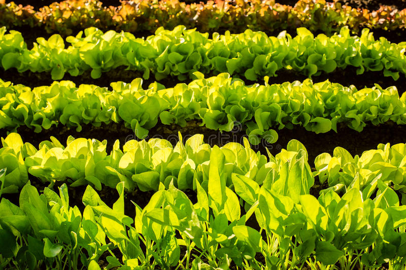 Hydroponic vegetables growing in greenhouse royalty free stock photography