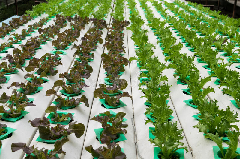 Hydroponic vegetables growing in greenhouse. Farm stock photography