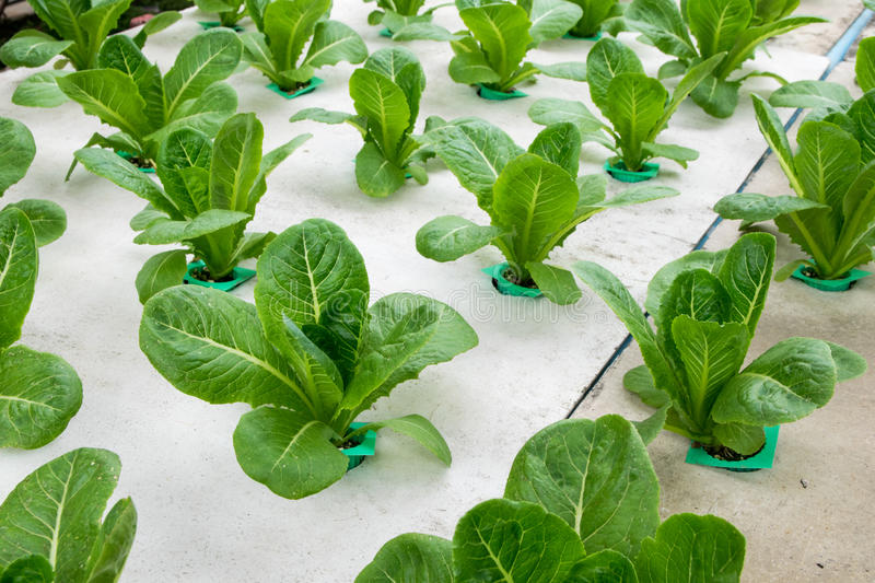 Hydroponic vegetables growing in greenhouse. Farm royalty free stock images