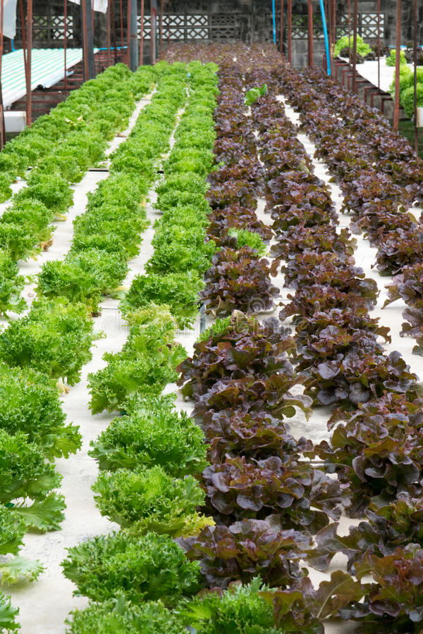 Hydroponic vegetables growing in greenhouse. Farm royalty free stock image