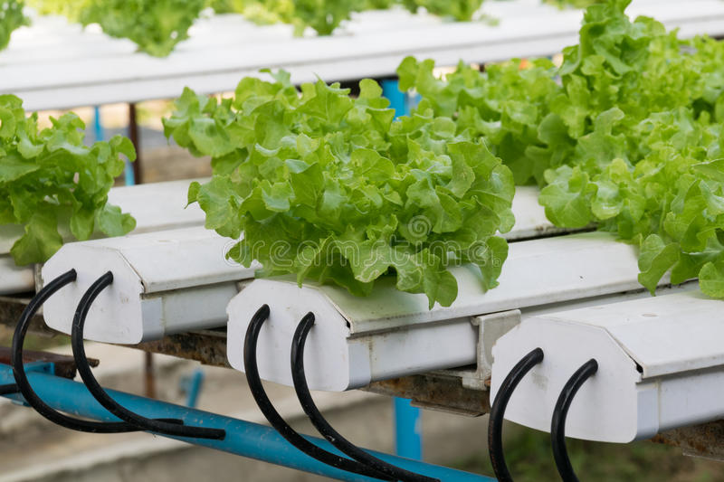 Hydroponic vegetables growing in greenhouse royalty free stock images