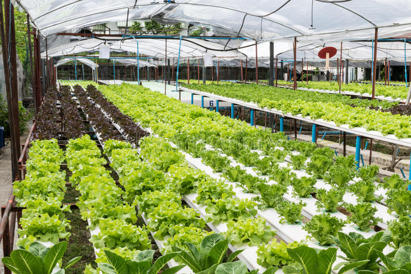 Hydroponic vegetables growing in greenhouse stock photography