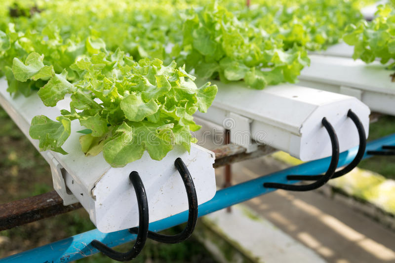 Hydroponic vegetables growing in greenhouse royalty free stock photo
