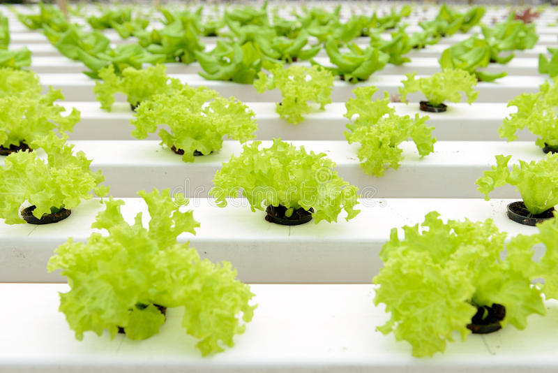 Hydroponic vegetables royalty free stock image