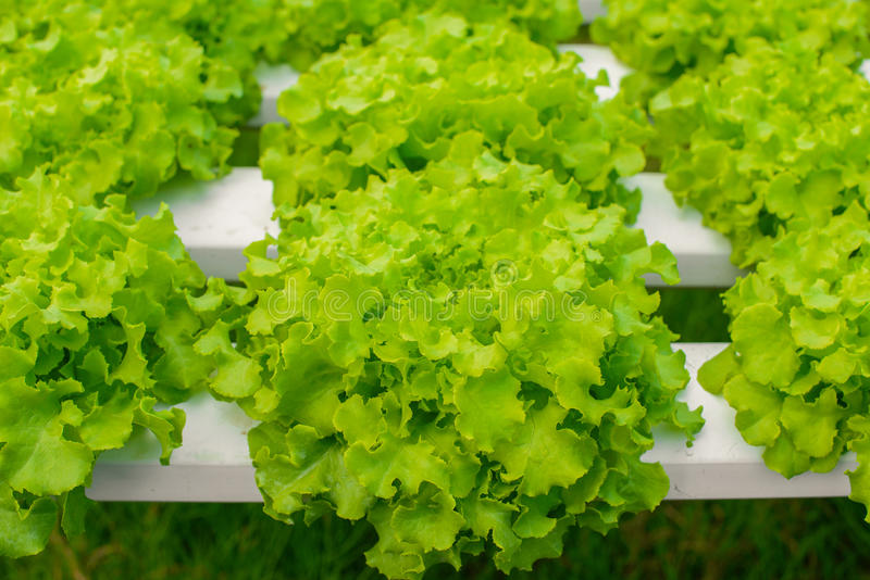 Hydroponic vegetables growing in greenhouse, non toxi stock photo