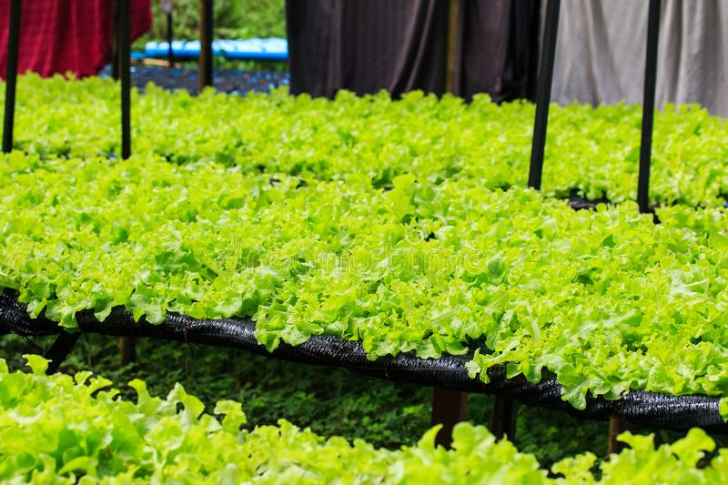 Hydroponic vegetables growing. royalty free stock image