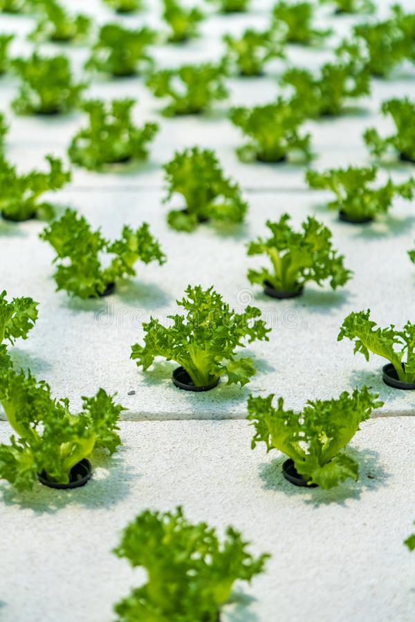 Hydroponic vegetables salad farm. Method of growing plants stock photography