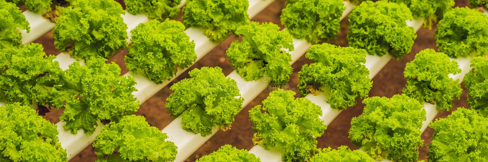 Hydroponic vegetables salad farm. Hydroponics method of growing plants vegetables salad farm, in water, without soil. Hydroponic l. Ettuces in hydroponic pipe royalty free stock photo