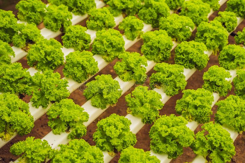Hydroponic vegetables salad farm. Hydroponics method of growing royalty free stock photography