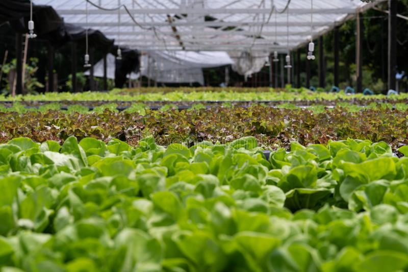 Hydroponic vegetables salad farm. Method of growing plants stock image