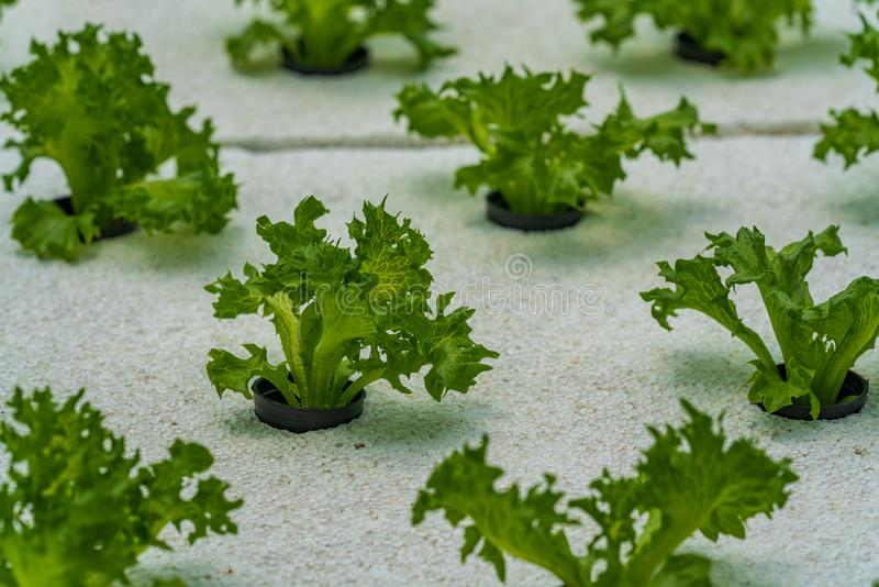 Hydroponic vegetables salad farm. Method of growing plants stock photo
