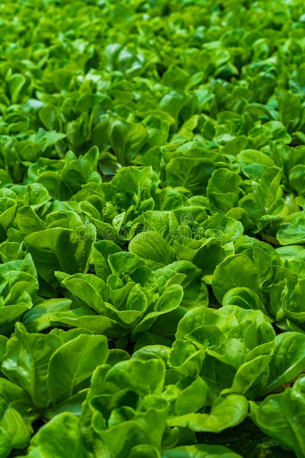 Hydroponic vegetables salad farm. Method of growing plants stock photos