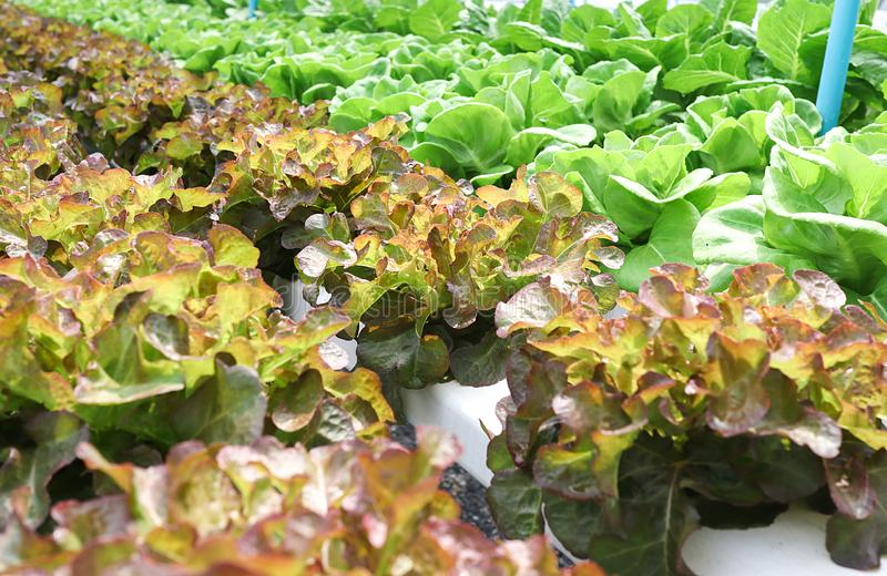 Hydroponic vegetables salad, Red Oak Lettuce. Hydroponics, farm, leaf, greenhouse, fresh, plant, food, organic, water, healthy, agriculture, garden, field stock image