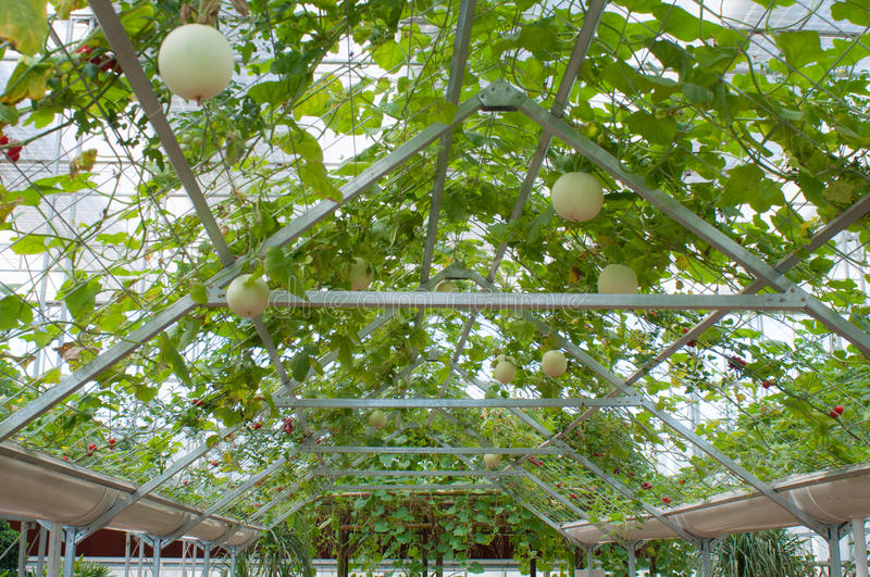 Hydroponic vegetables. In a Solar greenhouse stock photography
