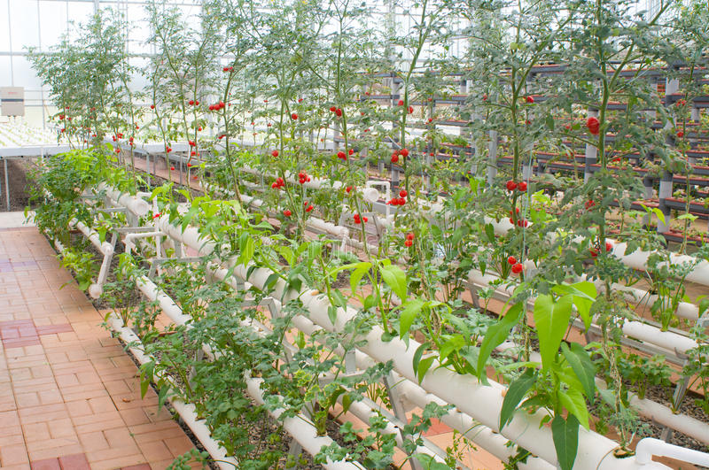 Hydroponic vegetables. In a Solar greenhouse stock image