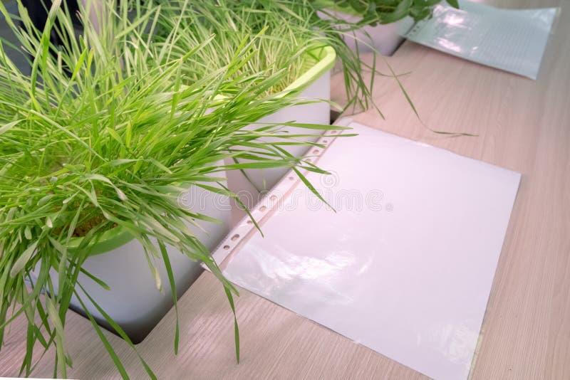 hydroponics Brotes verdes del trigo y una hoja de papel blanca en la tabla El método de crecer las plantas en agua sin la tierra  foto de archivo libre de regalías
