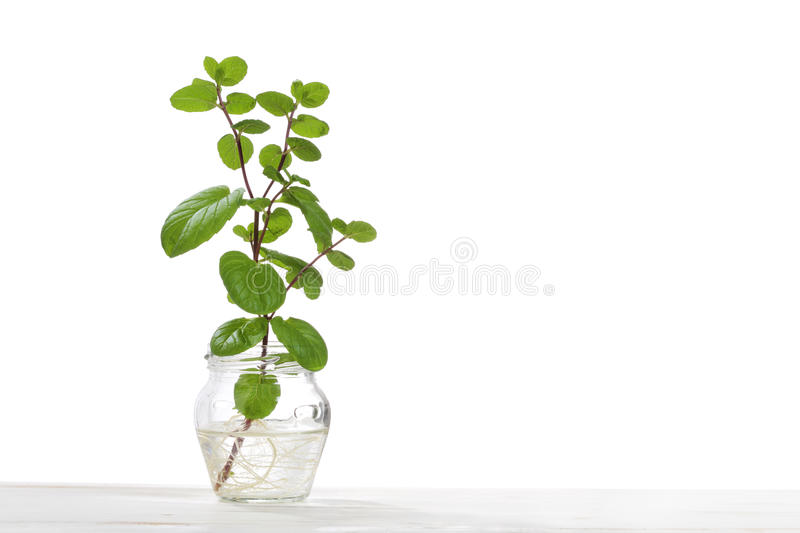 Hydroponics culture od mint plant stock photography