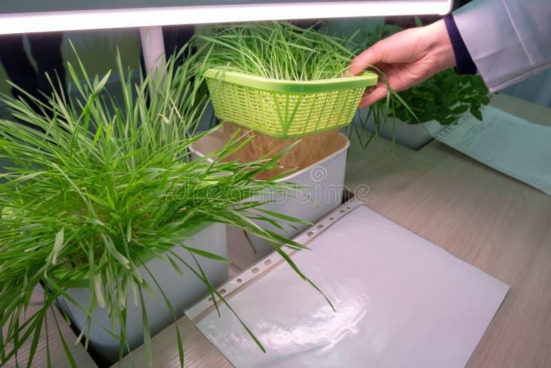 hydroponics El método de crecer las plantas sin la tierra Las manos femeninas levantan una taza neta con los brotes verdes jovene fotos de archivo libres de regalías