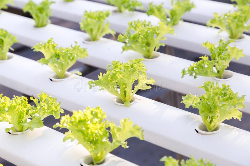 Hydroponics greenhouse. Organic green vegetables salad in hydroponics farm for health, food and agriculture concept design. Hydroponics is a non soil plant stock image