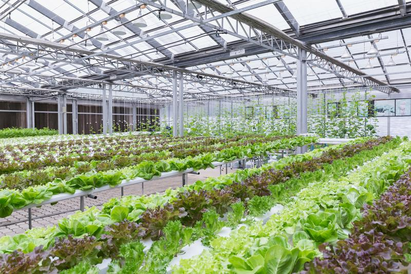 Hydroponics greenhouse. Organic green vegetables salad in hydroponics farm for health, food and agriculture concept design. stock photography