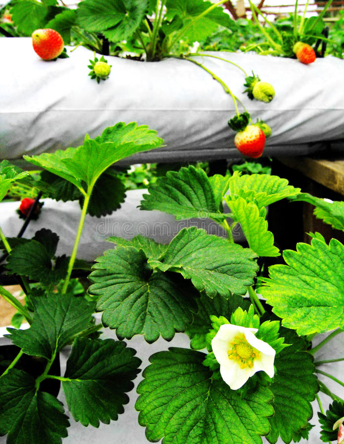 Hydroponics strawberry farm, Malaysia. A photograph showing some strawberry plants, leaves foliage, flowers and fruit growing on a hydroponic high technology royalty free stock photos