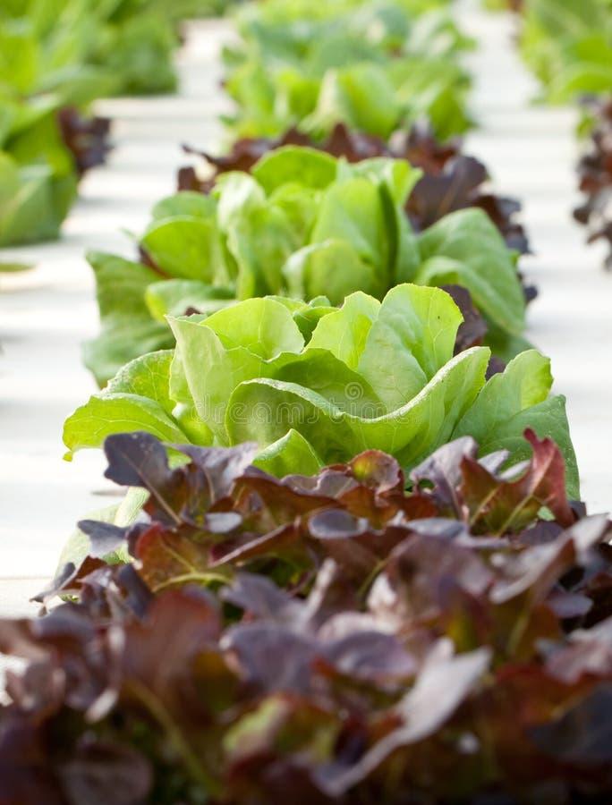 Hydroponics vegetable royalty free stock photos