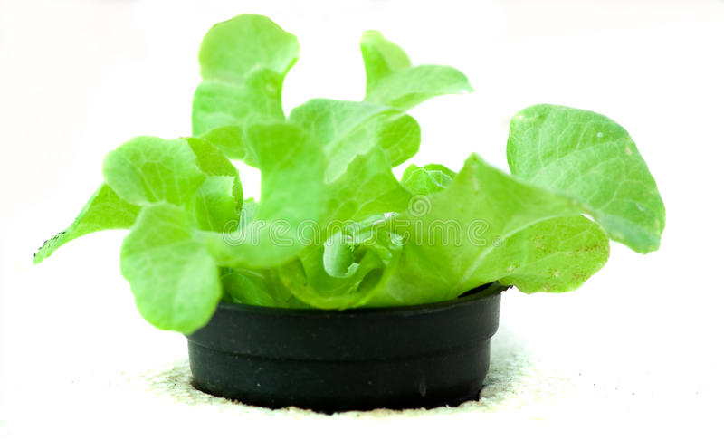 Hydroponics vegetable royalty free stock images