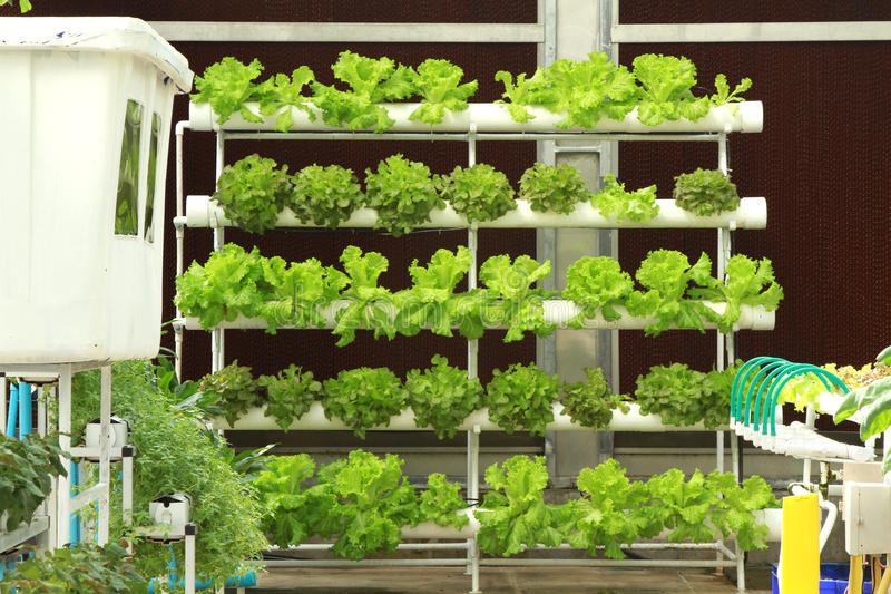 Download Hydroponics vegetable stock image. Image of foliage, nature - 26732685