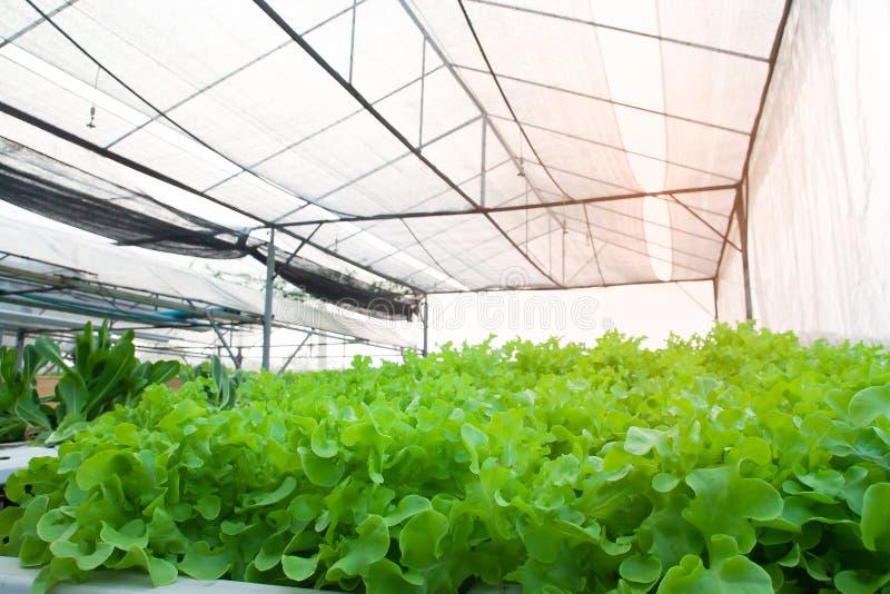 Hydroponics vegetable cultivation farm. Organic salad vegetables stock images