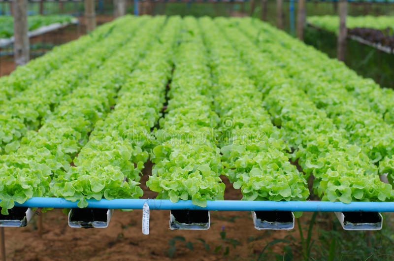 Hydroponics vegetable in farm royalty free stock photos