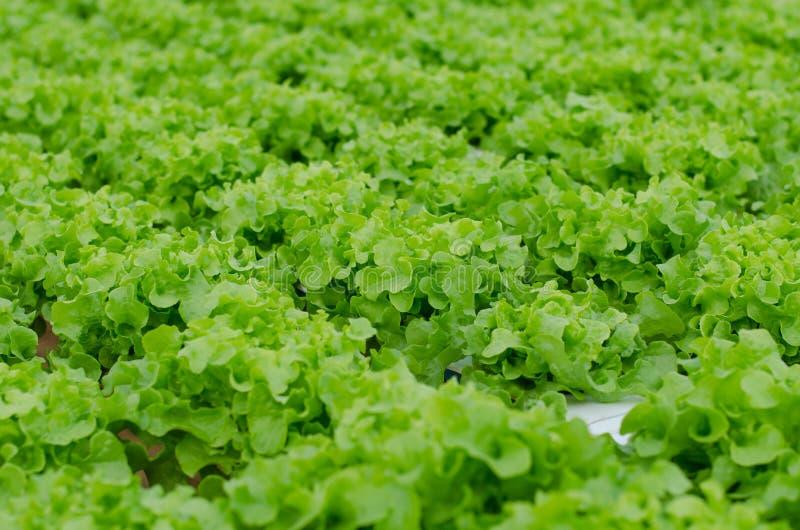Hydroponics vegetable in farm stock photos