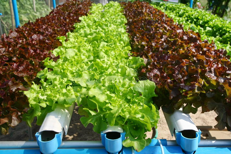 Hydroponics vegetable farming royalty free stock image