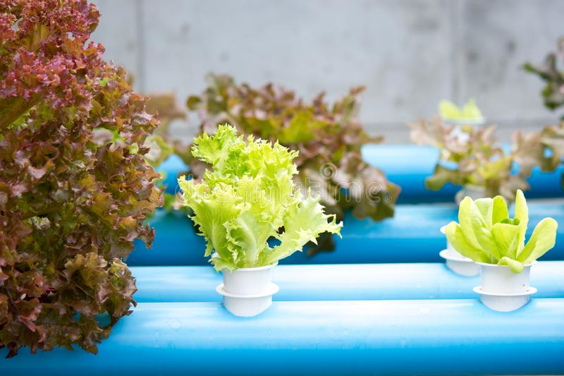 Hydroponics vegetable farming in Thailand royalty free stock image