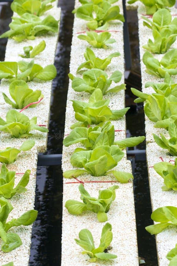 Hydroponics vegetable farming royalty free stock photo