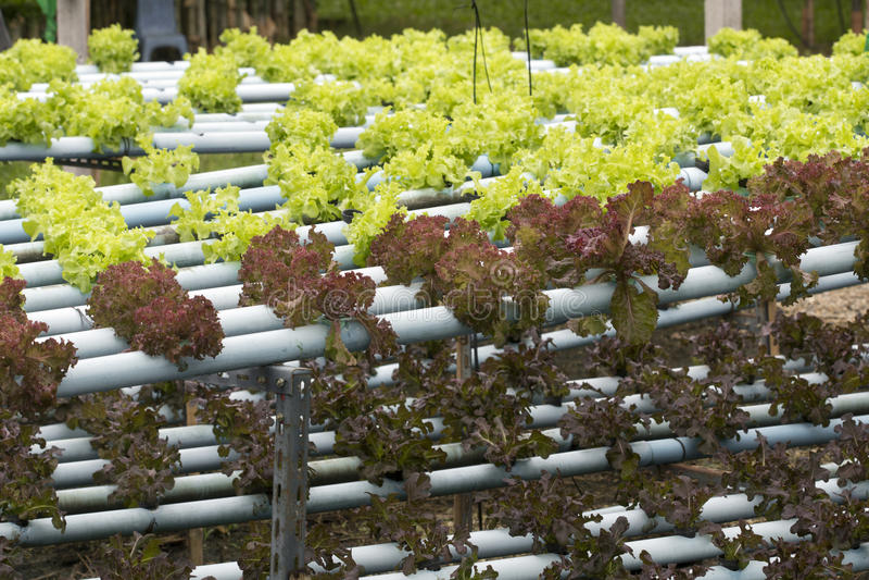 Hydroponics vegetable farming stock photo