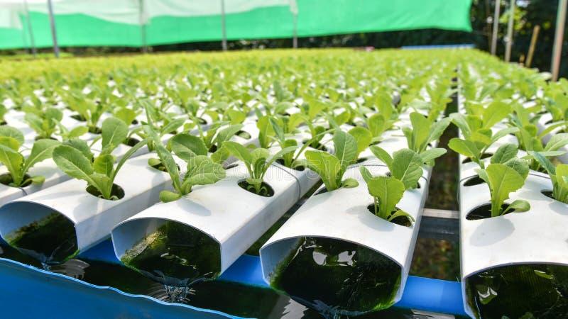Hydroponics Vegetable garden stock photo