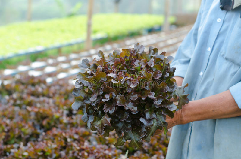 Hydroponics vegetable in hand royalty free stock photography