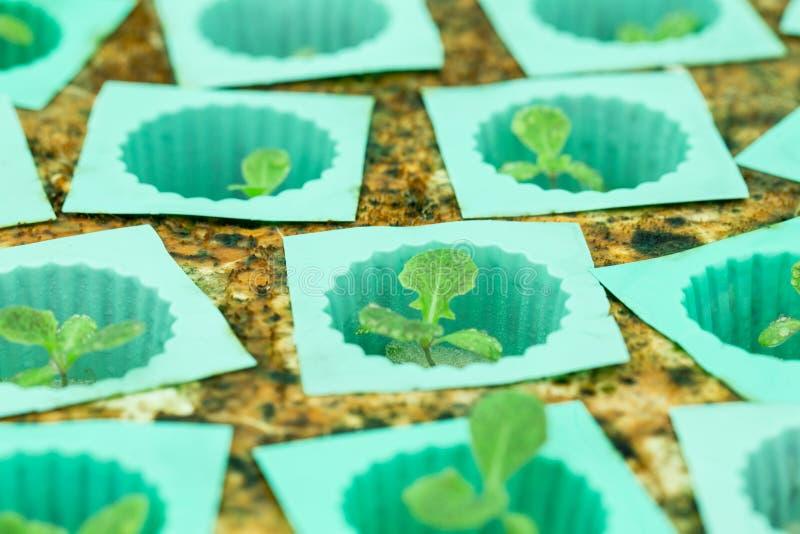 Hydroponics Vegetable royalty free stock image