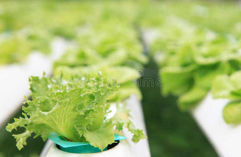 hydroponics vegetable with water dew royalty free stock photography