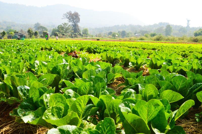 Hydroponics vegetables royalty free stock photo