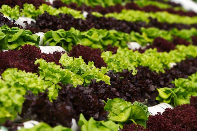 Hydroponics vegetal fotografia de stock royalty free