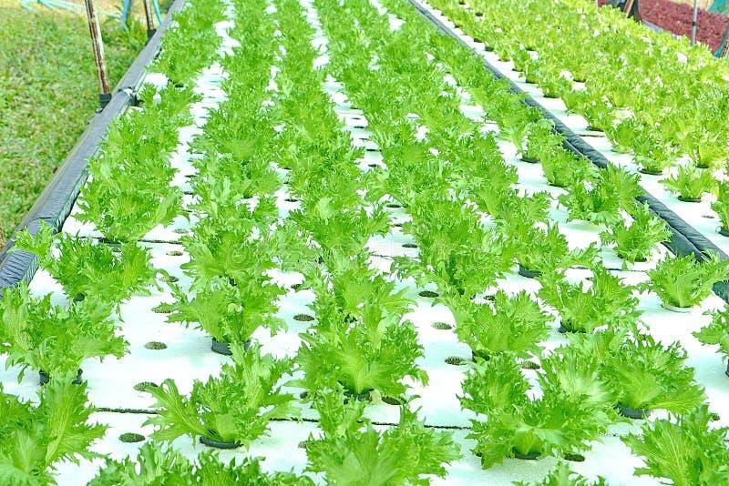 Hydroponika warzywa: zasadzać warzywa bez ziemi obrazy royalty free