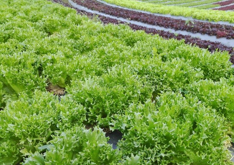 Hydroponiki warzywa uprawiać ziemię zdjęcia stock