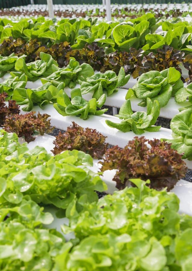 Hydroponique naturel vert organique de ferme végétale photos libres de droits
