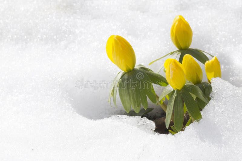 De akoniet van de winter, hyemalis van bloemenEranthis stock afbeeldingen